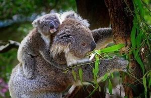 Keeping going keeps you going. Photo of koala & baby